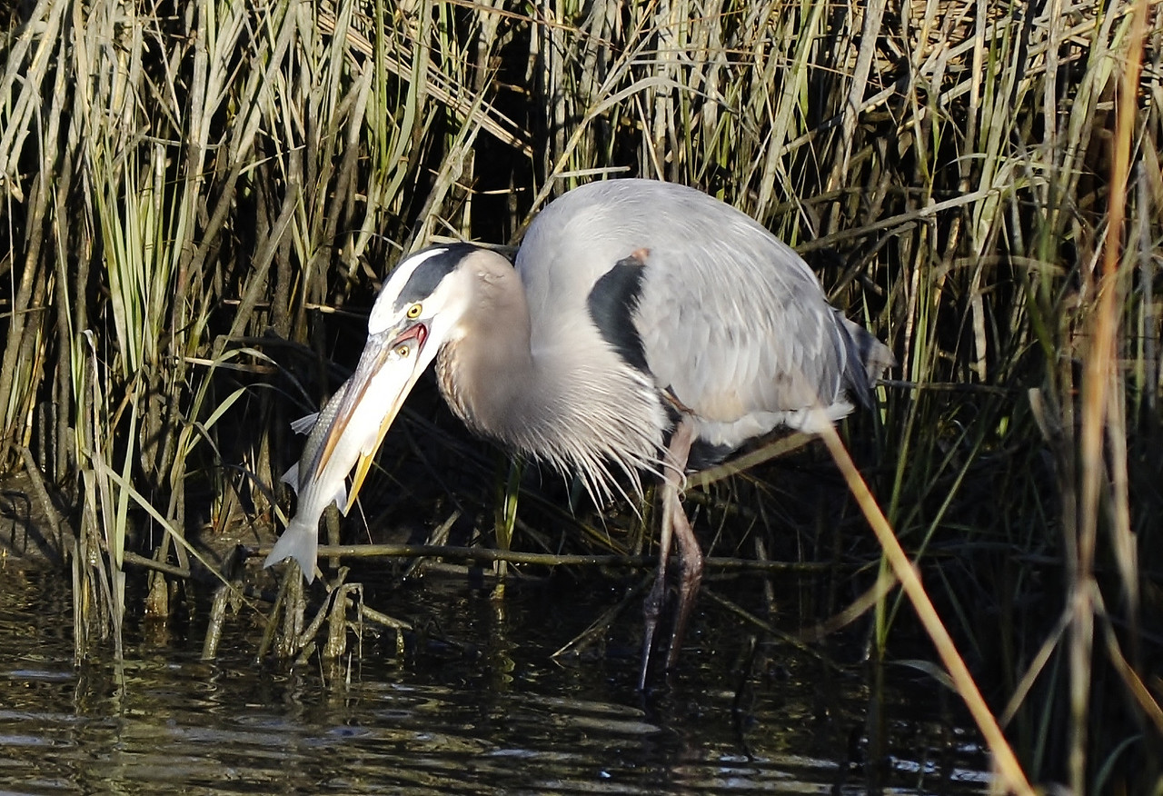 "Name: Great Blue Heron eating<br /> Medium: Photography<br /> Contact: Bill Hosford<br /> E-Mail: gwh1225@aol.com <br /> To see more of Bills work go to <a href=""http://www.hosfordimages.com"">http://www.hosfordimages.com</a>"