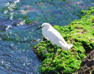 Name: Young Snowy Egret. Medium: Photography Contact: Bill Hosford E-Mail: gwh1225@aol.com  To see more of Bills work go to http://www.hosfordimages.com