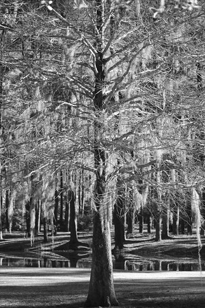 Name:  B&W Trees Medium: Photography Price:  Size : Contact: Lisa Schneider E-Mail: LisaSchneider01@hotmail.com