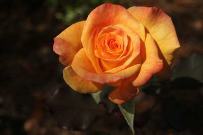 Name: Yellow Rose Medium: Photography Price: $80 Size 11 X 14 Contact: Lisa Schneider E-Mail: LisaSchneider01@hotmail.com