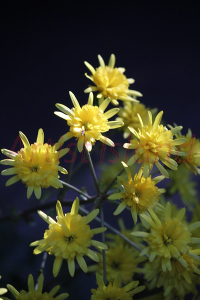 Name: Yellow Burst<br /> Medium: Photography<br /> Price: $80<br /> Size 11 X 14<br /> Contact: Lisa Schneider<br /> E-Mail: LisaSchneider01@hotmail.com