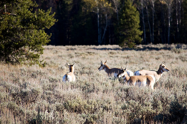 Pronghorn, Yellowstone National Park