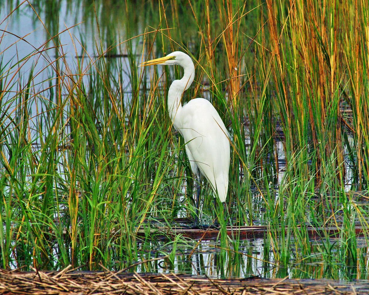 "Name: Marsh Egret<br /> Medium: Photography<br /> Size: <br /> Price: $<br /> Contact: Mike Covington<br /> E-Mail: mike@lowcountryphotos.com <br /> For a print of this work, go to  <a href=""http://www.lowcountryart.org"">http://www.lowcountryart.org</a>"