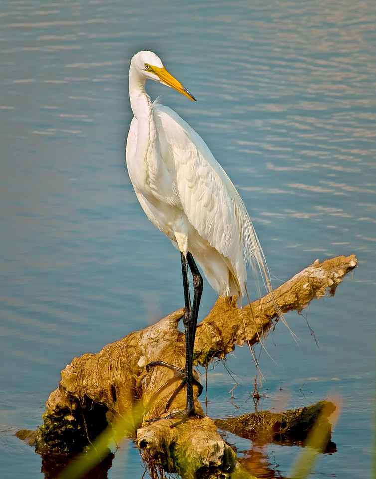 "Name: Elegant Egret<br /> Medium: Photography<br /> Size: <br /> Price: $<br /> Contact: Mike Covington<br /> E-Mail: mike@lowcountryphotos.com <br /> For a print of this work, go to  <a href=""http://www.lowcountryart.org"">http://www.lowcountryart.org</a>"