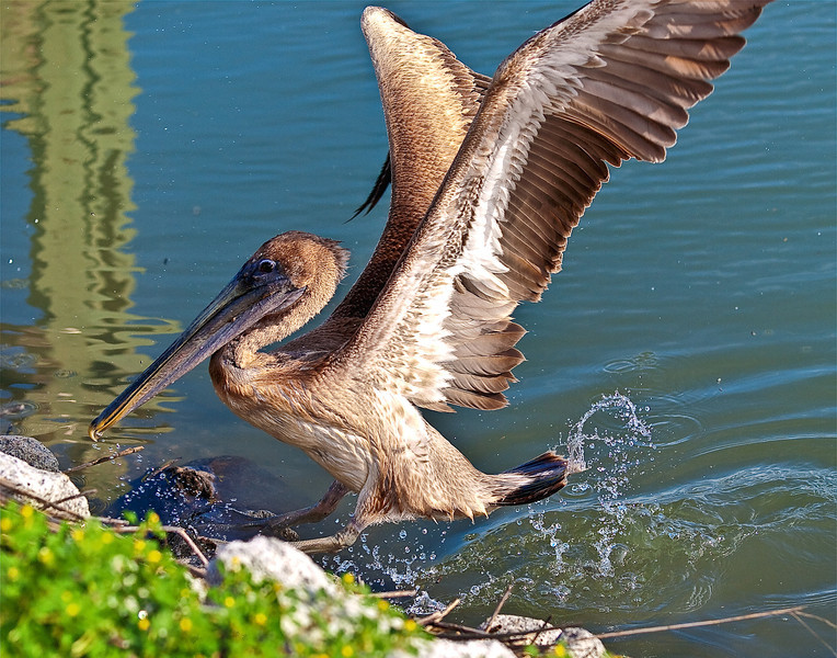 "Name: The Pelican Jump<br /> Medium: Photography<br /> Size: <br /> Price: $<br /> Contact: Mike Covington<br /> E-Mail: mike@lowcountryphotos.com <br /> For a print of this work, go to  <a href=""http://www.lowcountryart.org"">http://www.lowcountryart.org</a>"