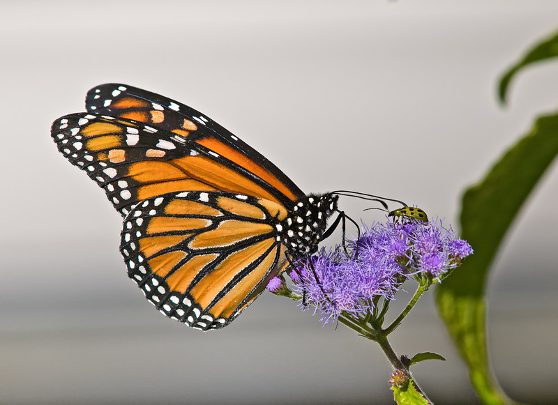 """Name: Butterfly Bug Inspector<br /> Medium: Photography<br /> Size: <br /> Price: $<br /> Contact: Mike Covington<br /> E-Mail: mike@lowcountryphotos.com <br /> For a print of this work, go to  <a href=""""http://www.lowcountryart.org"""">http://www.lowcountryart.org</a>"""