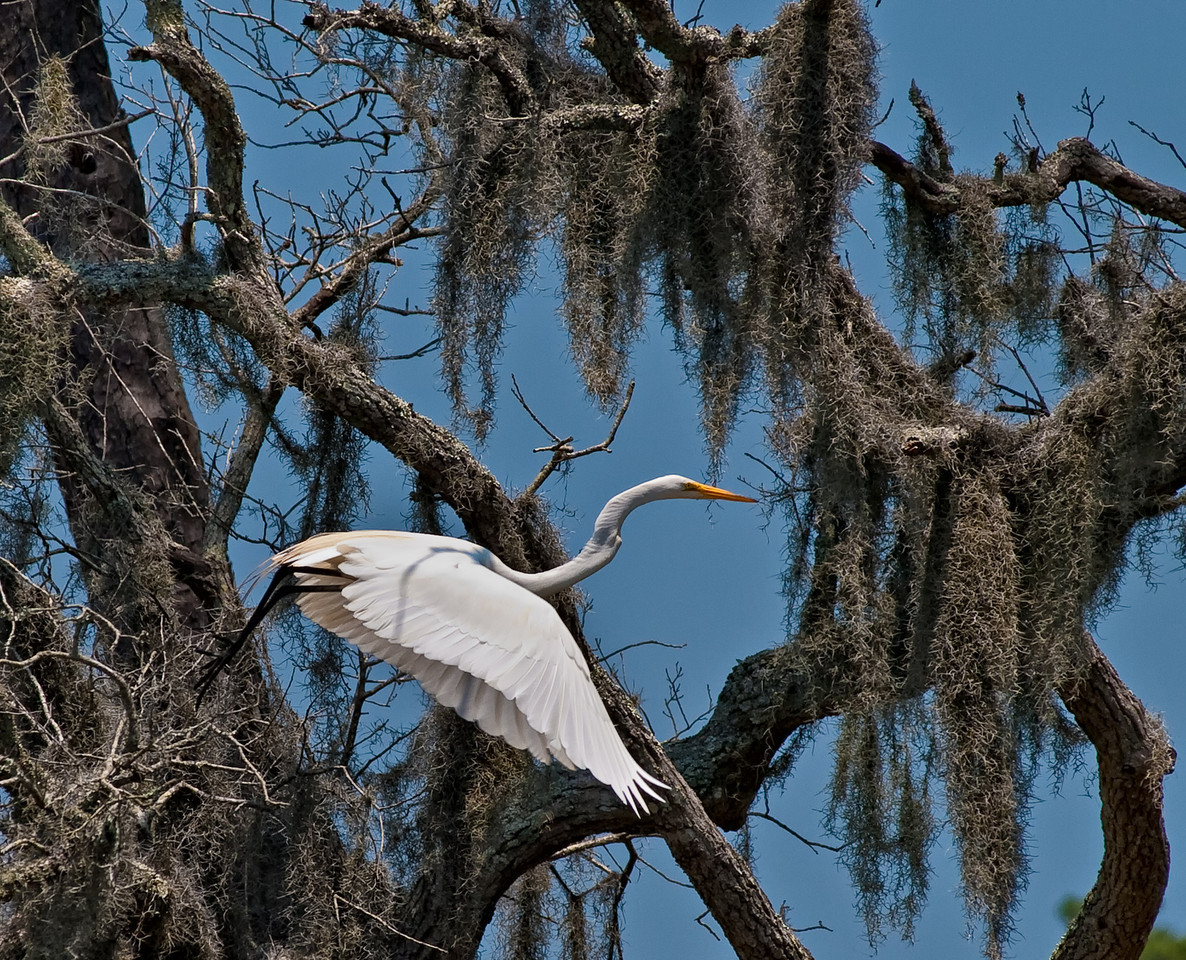 "Name: Egret in the Moss<br /> Medium: Photography<br /> Size: <br /> Price: $<br /> Contact: Mike Covington<br /> E-Mail: mike@lowcountryphotos.com <br /> For a print of this work, go to  <a href=""http://www.lowcountryart.org"">http://www.lowcountryart.org</a>"