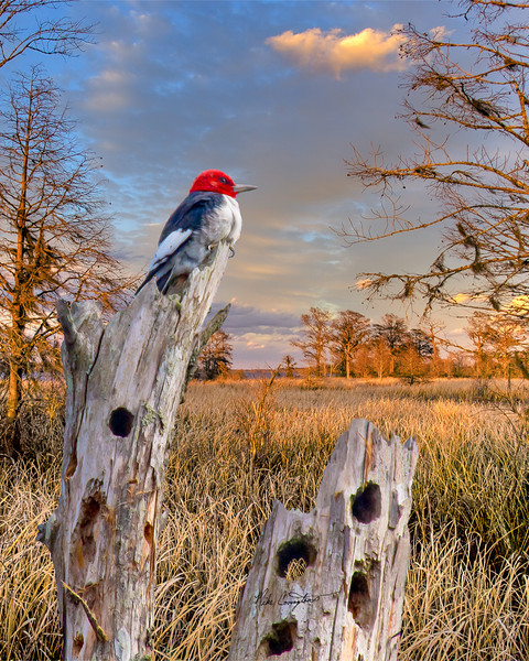 "Name: Woody in Paradise<br /> Medium: Photography<br /> Size: <br /> Price: $<br /> Contact: Mike Covington<br /> E-Mail: mike@lowcountryphotos.com <br /> For a print of this work, go to  <a href=""http://www.lowcountryart.org"">http://www.lowcountryart.org</a>"