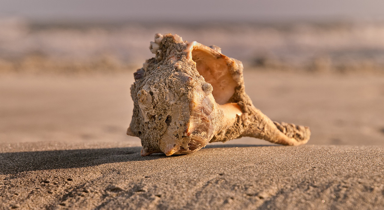 "Name: Conch Shell 1<br /> Medium: Photography<br /> Size: <br /> Price: $<br /> Contact: Mike Covington<br /> E-Mail: mike@lowcountryphotos.com <br /> For a print of this work, go to  <a href=""http://www.lowcountryart.org"">http://www.lowcountryart.org</a>"