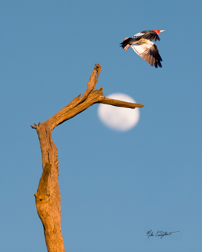 "Name: Woody Flying Over the Moon<br /> Medium: Photography<br /> Contact: Mike Covington<br /> E-Mail: mike@lowcountryphotos.com <br /> For a print of this work, go to  <a href=""http://www.lowcountryart.org"">http://www.lowcountryart.org</a>"