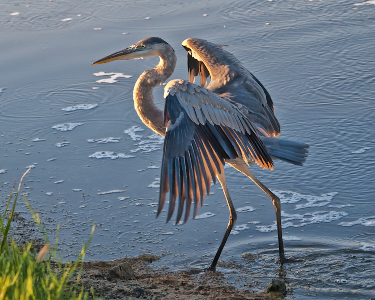 "Name: Heron at Sundown<br /> Medium: Photography<br /> Size: <br /> Price: $<br /> Contact: Mike Covington<br /> E-Mail: mike@lowcountryphotos.com <br /> For a print of this work, go to  <a href=""http://www.lowcountryart.org"">http://www.lowcountryart.org</a>"