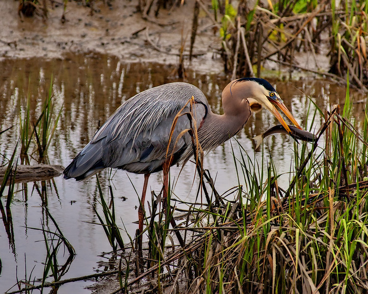 """Name: Heron Fishing<br /> Medium: Photography<br /> Size: <br /> Price: $<br /> Contact: Mike Covington<br /> E-Mail: mike@lowcountryphotos.com <br /> For a print of this work, go to  <a href=""""http://www.lowcountryart.org"""">http://www.lowcountryart.org</a>"""