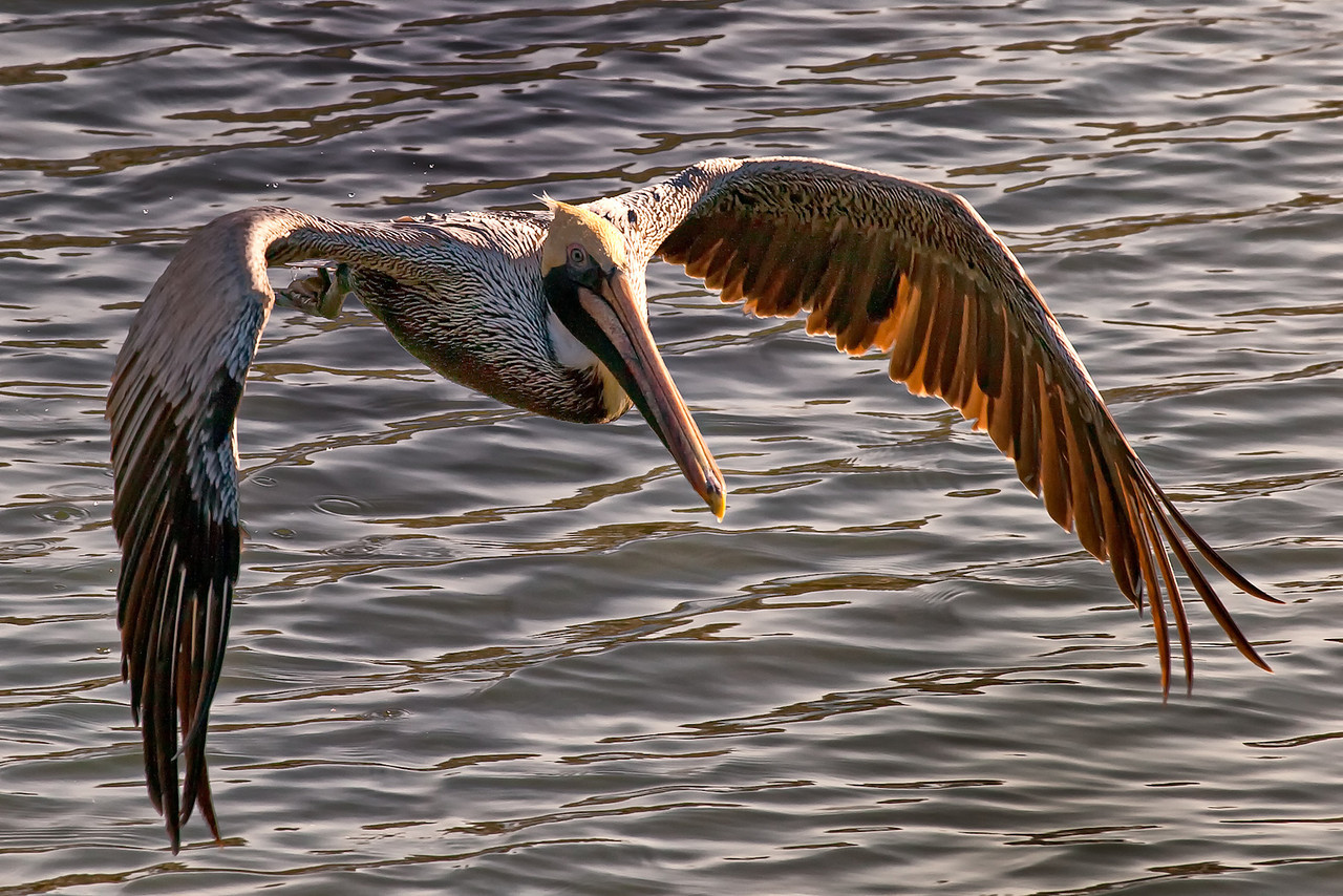 "Name: Pelican Cruise<br /> Medium: Photography<br /> Size: <br /> Price: $<br /> Contact: Mike Covington<br /> E-Mail: mike@lowcountryphotos.com For a print of this work, go to  <a href=""http://www.lowcountryart.org"">http://www.lowcountryart.org</a>"