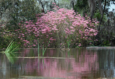 Name: Pink Magfnificence Medium: Photography Size: Price: $ Contact: Suzanne Gaff E-Mail: sdgaff@sc.rr.com