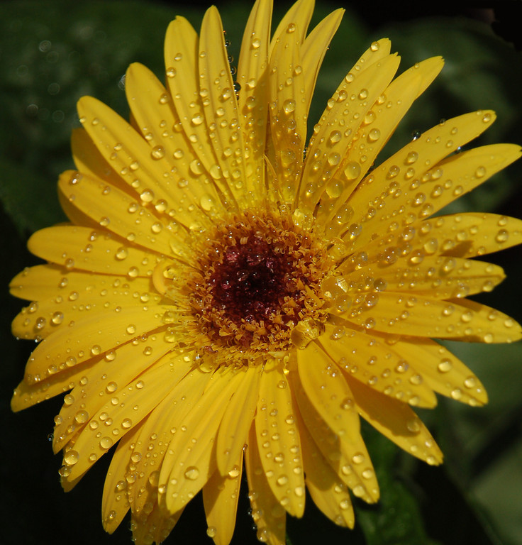 Name: Yellow Gerbera <br /> Medium: Photography<br /> Size:<br /> Price: $<br /> Contact: Suzanne Gaff<br /> E-Mail: sdgaff@sc.rr.com
