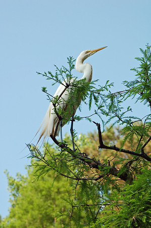 Name: White Egret Medium: Photography Size: Price: $ Contact: Suzanne Gaff E-Mail: sdgaff@sc.rr.com
