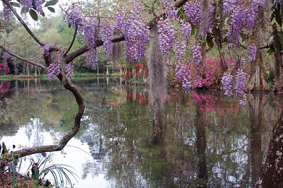 Name: Wisteria n Pond  Medium: Photography Size: Price: $ Contact: Suzanne Gaff E-Mail: sdgaff@sc.rr.com
