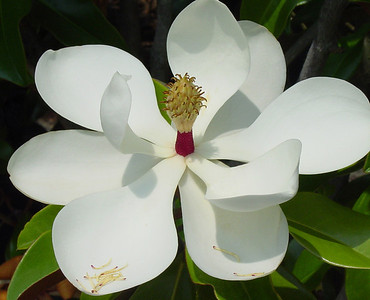 Name: Magnolia Grandiflora  Medium: Photography Size: Price: $ Contact: Suzanne Gaff E-Mail: sdgaff@sc.rr.com