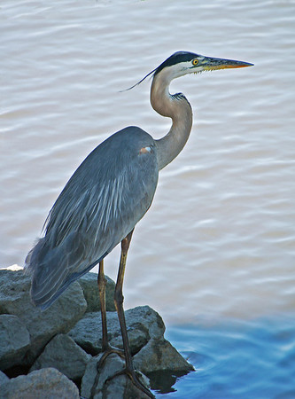 Name: Great Blue Heron Medium: Photography Size: Price: $ Contact: Suzanne Gaff E-Mail: sdgaff@sc.rr.com