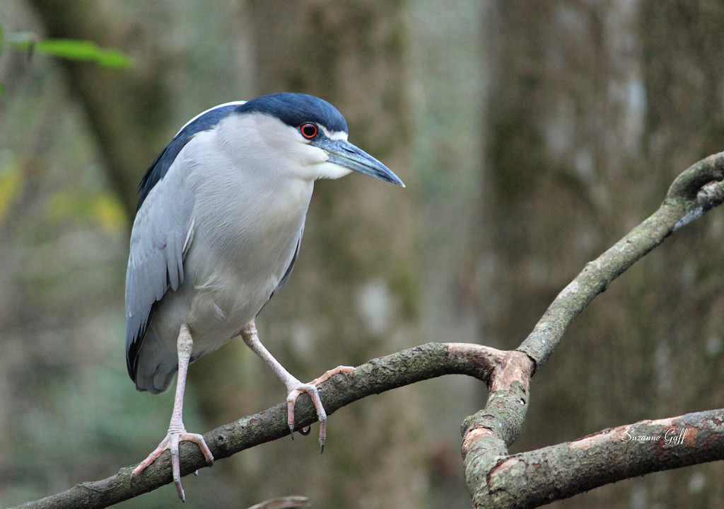 Name: Black Crowned Night Heron<br /> Medium: Photography<br /> Size:<br /> Price: $<br /> Contact: Suzanne Gaff<br /> E-Mail: sdgaff@sc.rr.com