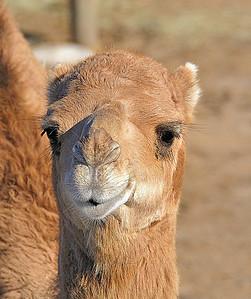 Name: Camel Medium: Photography Price: $ Contact: William (Bill) McEvoy E-Mail: mcdu13@sc.rr.com