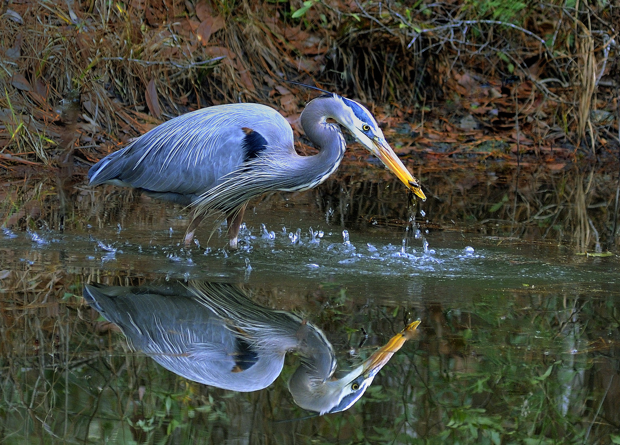 Name: Blue Heron #1<br /> Medium: Photography<br /> Price: $<br /> Contact: William (Bill) McEvoy<br /> E-Mail: mcdu13@sc.rr.com