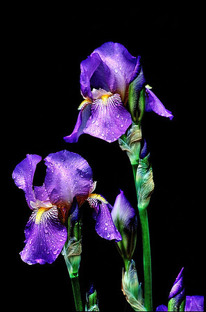 Name: Iris Medium: Photography Price: $ Contact: William (Bill) McEvoy E-Mail: mcdu13@sc.rr.com