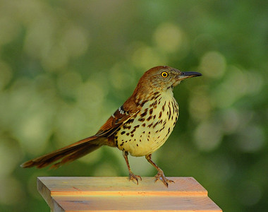 Name: Brown Thrasher Medium: Photography Price: $ Contact: William (Bill) McEvoy E-Mail: mcdu13@sc.rr.com