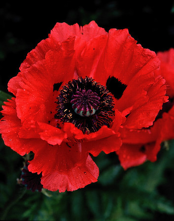Name: fringed poppy #2 Medium: Photography Price: $ Contact: William (Bill) McEvoy E-Mail: mcdu13@sc.rr.com