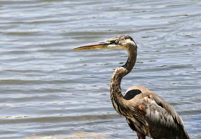 Name: Blue Heron Medium: Photography Price: $ Contact: William (Bill) McEvoy E-Mail: mcdu13@sc.rr.com
