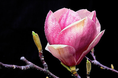 Name: Magnolia Bud Medium: Photography Price: $ Contact: William (Bill) McEvoy E-Mail: mcdu13@sc.rr.com