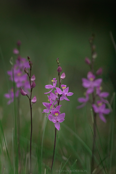 Grass Orchids after Fire