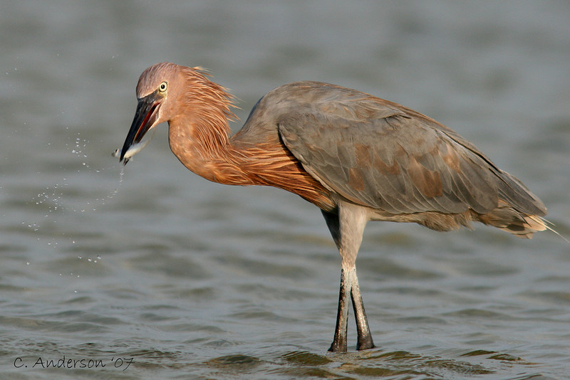 """The Catch""<br /> Reddish Egret"