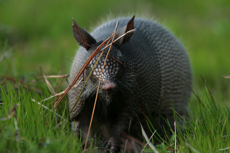 Eye to Eye With an Armadillo