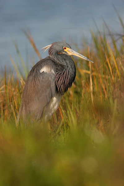 Tricolored Heron in the Marsh