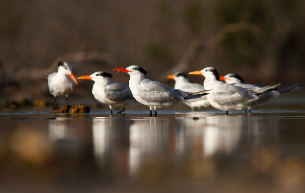 """One Stands Alone""  <br /> <br /> Flock of Royal Terns. Ohio Key"