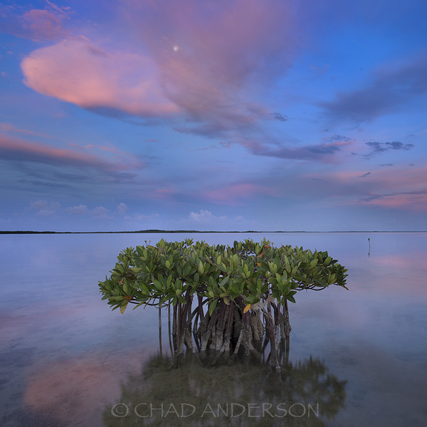 Twilight Mangrove