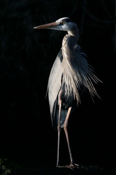 Great Blue Heron on Black