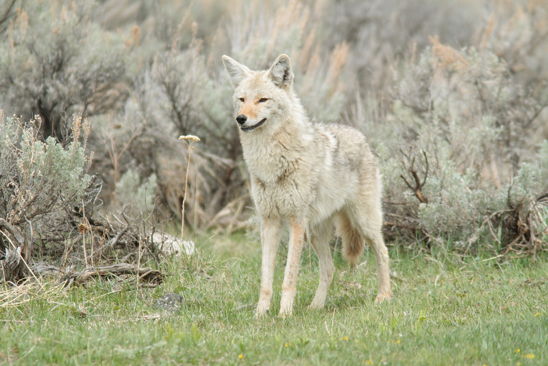 Coyote in Lamar. YNP.