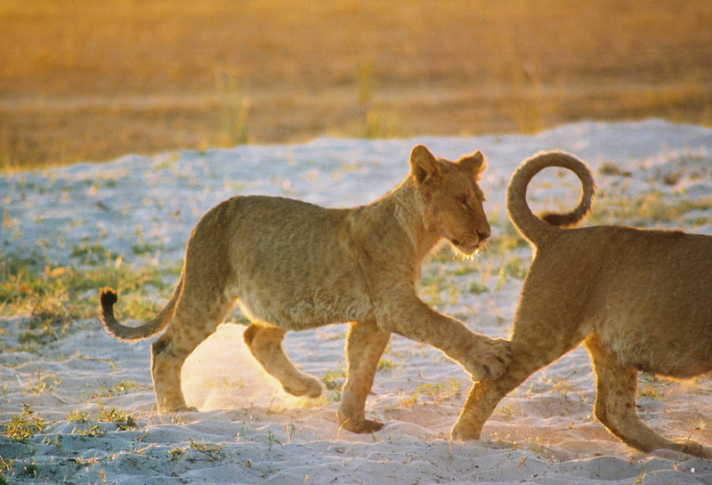 Lion cubs at Sunrise at Chobe National Park. Botswana, Africa 2007