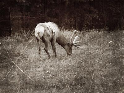 Caribou, Elk, + Moose