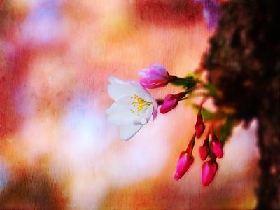 Cherry Blossom Festivals