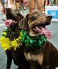 Dogs dressed in a carnival costume take part in the animals carnival, Copacabana, Brazil, February 3, 2013. (Austral Foto/Renzo Gostoli)