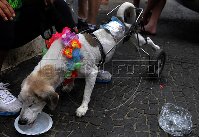 A dog, paraplegic and blind of one eye, dressed in carnival costumes take part in the animals carnival, Copacabana, Brazil, February 3, 2013. (Austral Foto/Renzo Gostoli)