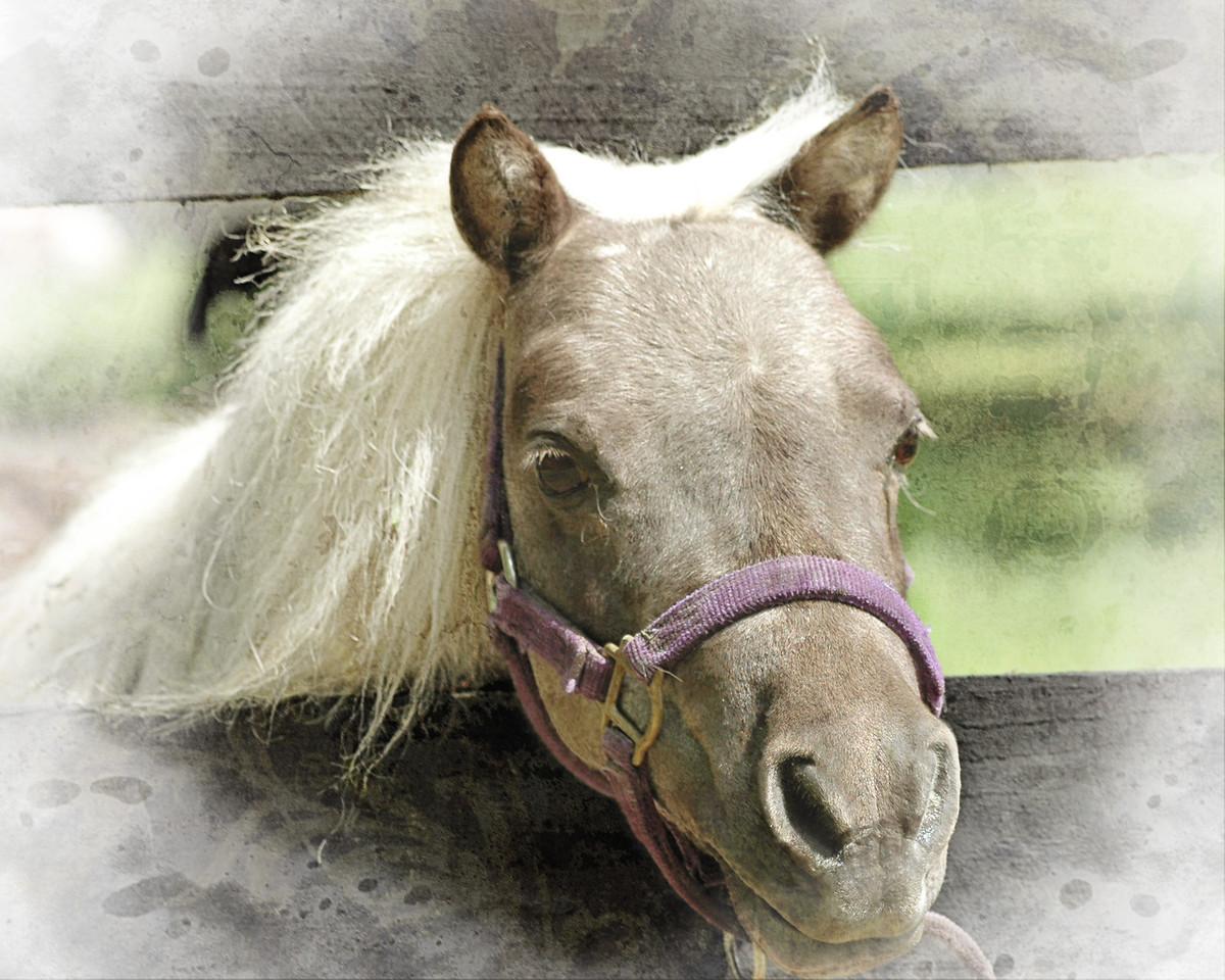 Miniature horse, Ocala