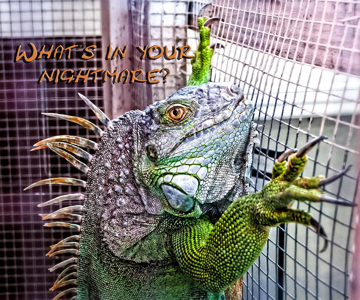 Iguana at Seminole County Animal Services