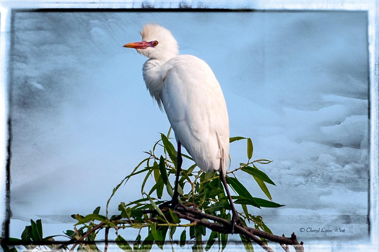 Egret on Bird Island on Lake Jessup, FL.<br /> Black Hammock