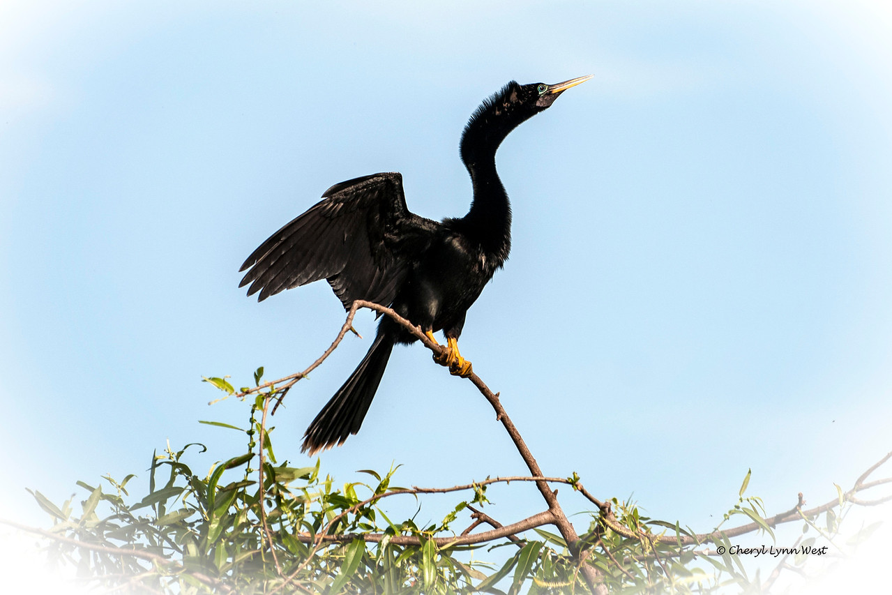 Anhinga on Bird Island on Lake Jessup, FL.<br /> Black Hammock