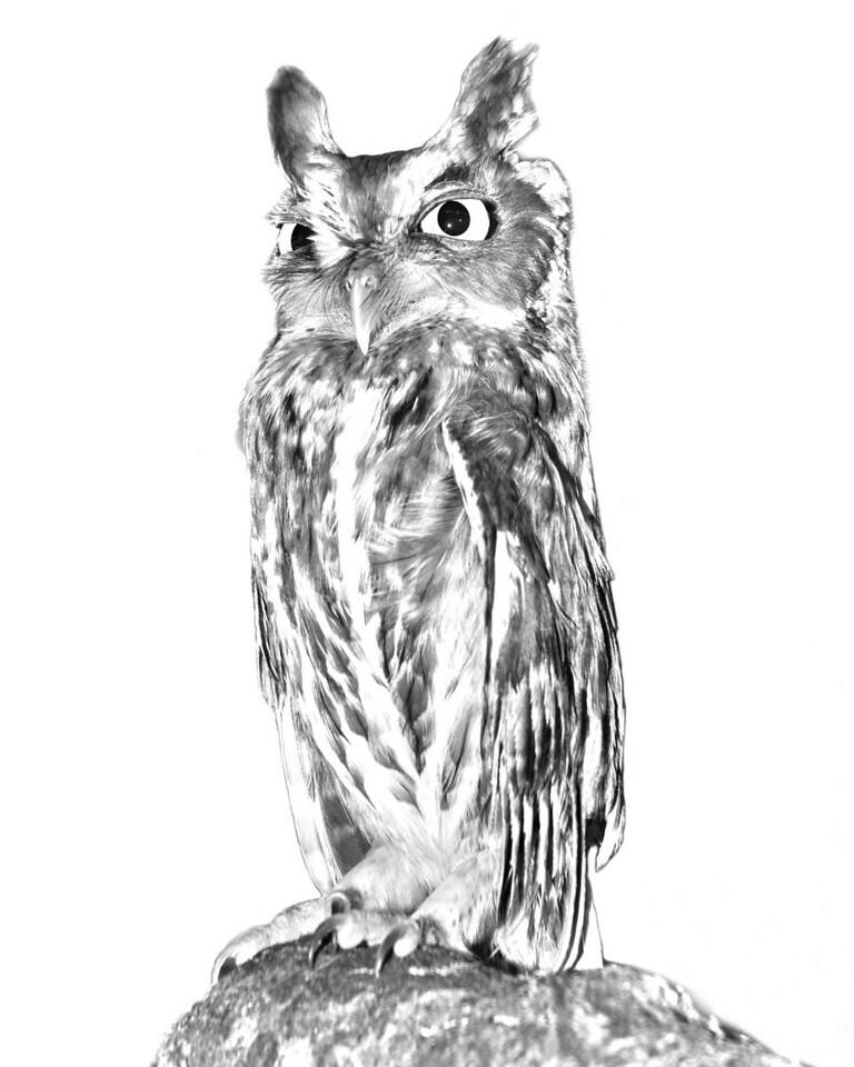 Screech owl, Back to Nature Wildlife Refuge