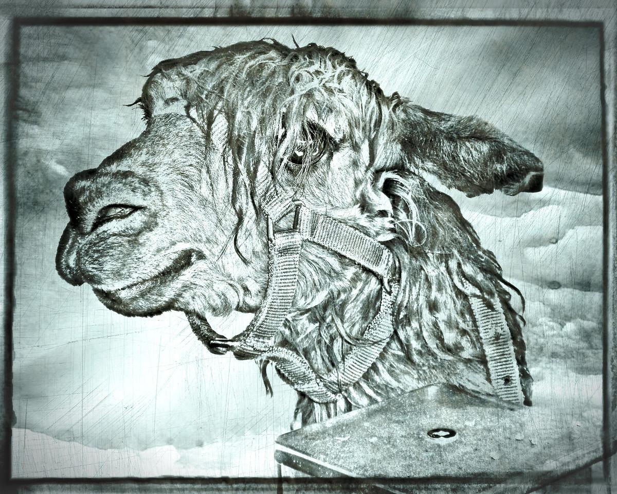 Alpaca sketch - Central Florida Fair, 2012